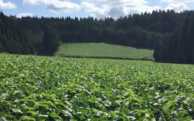 「発酵マメ子 フローラゼリー」使用しているのは国産のオーガニック大豆100%! 安心・安全を第一に