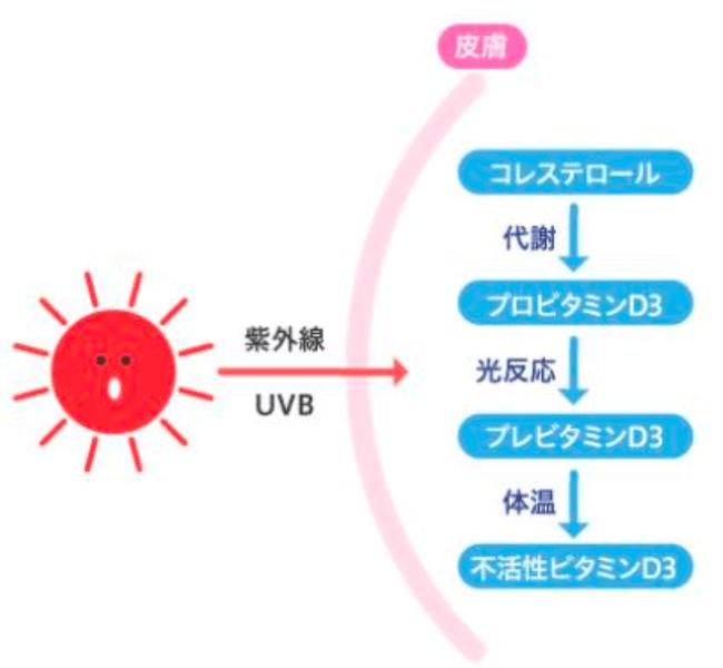 """病気予防に欠かせないビタミンDは""""日光浴""""で生成される!"""